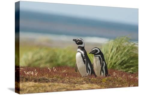 Falkland Islands, Sea Lion Island. Two Magellanic Penguins-Cathy & Gordon Illg-Stretched Canvas Print