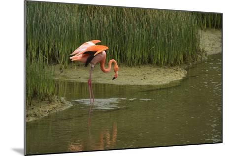 Greater Flamingo, Punta Moreno Isabela Island, Galapagos, Ecuador-Pete Oxford-Mounted Photographic Print