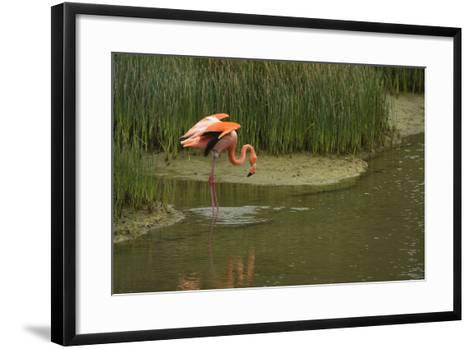 Greater Flamingo, Punta Moreno Isabela Island, Galapagos, Ecuador-Pete Oxford-Framed Art Print