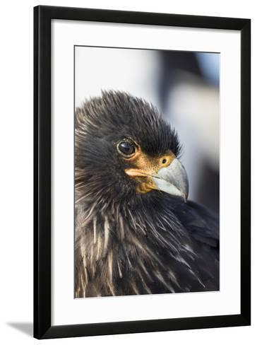 Striated Caracara (Phalcoboenus Australis), Falkland Islands-Martin Zwick-Framed Art Print