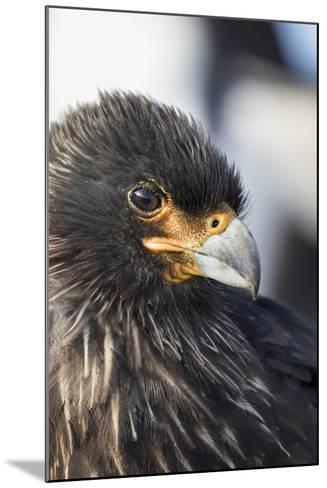 Striated Caracara (Phalcoboenus Australis), Falkland Islands-Martin Zwick-Mounted Photographic Print