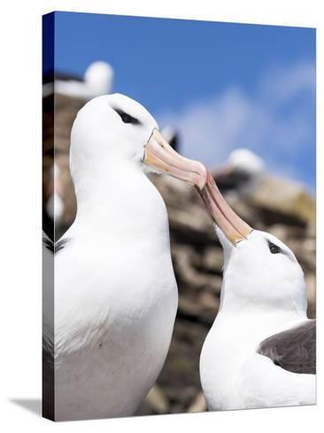 Black-Browed Albatross Greeting Courtship Display. Falkland Islands-Martin Zwick-Stretched Canvas Print
