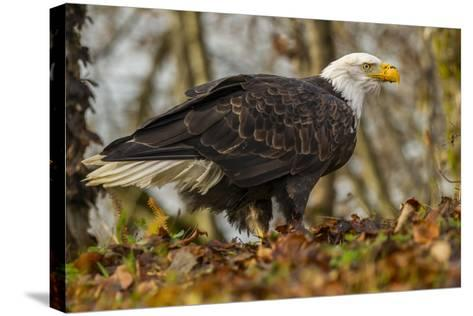 USA, Alaska, Chilkat Bald Eagle Preserve. Bald Eagle on Ground-Cathy & Gordon Illg-Stretched Canvas Print