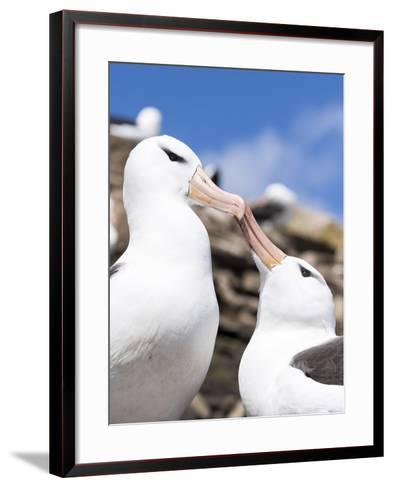Black-Browed Albatross Greeting Courtship Display. Falkland Islands-Martin Zwick-Framed Art Print