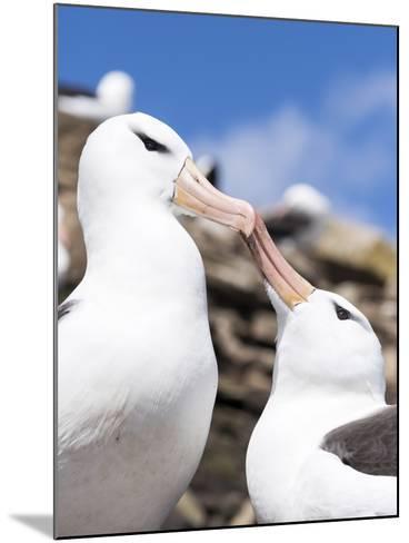 Black-Browed Albatross Greeting Courtship Display. Falkland Islands-Martin Zwick-Mounted Photographic Print