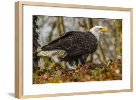 USA, Alaska, Chilkat Bald Eagle Preserve. Bald Eagle on Ground-Cathy & Gordon Illg-Framed Art Print