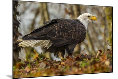 USA, Alaska, Chilkat Bald Eagle Preserve. Bald Eagle on Ground-Cathy & Gordon Illg-Mounted Photographic Print