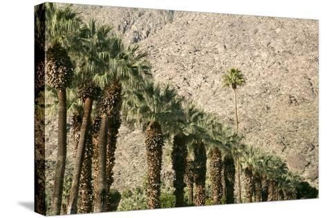 Scenic of Palm Trees, Palm Springs, California, USA-Julien McRoberts-Stretched Canvas Print