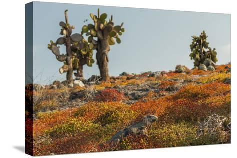 Ecuador, Galapagos National Park. Land Iguana in Colorful Vegetation-Cathy & Gordon Illg-Stretched Canvas Print