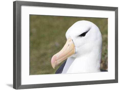 Black-Browed Albatross or Mollymawk, Portrait. Falkland Islands-Martin Zwick-Framed Art Print