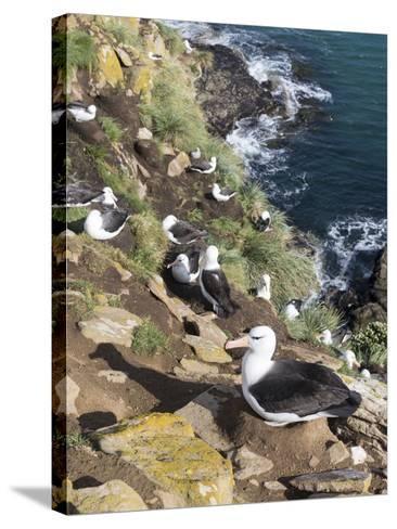 Black-Browed Albatross or Mollymawk, Colony. Falkland Islands-Martin Zwick-Stretched Canvas Print