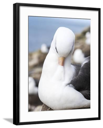 Black-Browed Albatross or Mollymawk, Portrait. Falkland Islands-Martin Zwick-Framed Art Print
