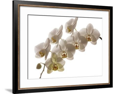 USA, Oregon, Keizer, Hybrid Orchid-Rick A Brown-Framed Art Print