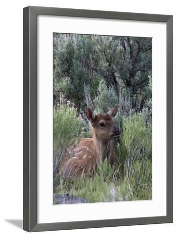 Rocky Mountain Elk Calf-Ken Archer-Framed Art Print