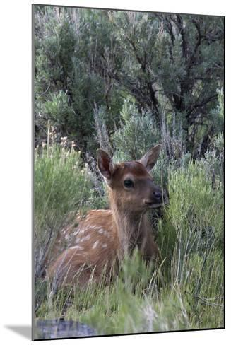 Rocky Mountain Elk Calf-Ken Archer-Mounted Photographic Print