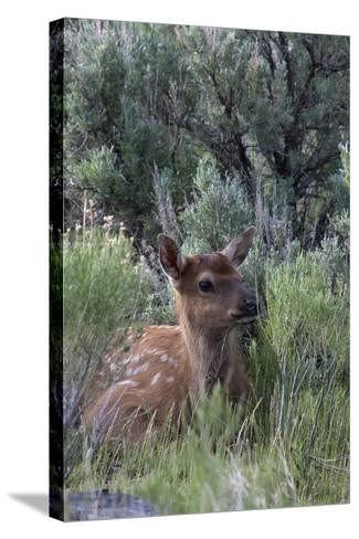 Rocky Mountain Elk Calf-Ken Archer-Stretched Canvas Print