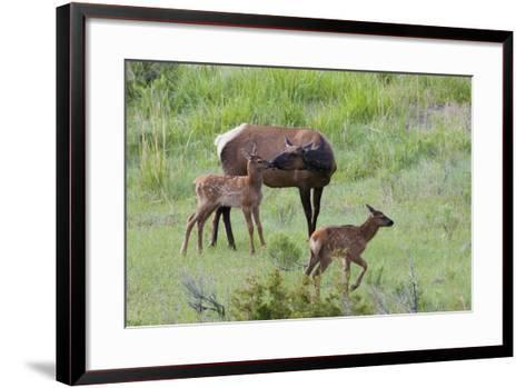 Rocky Mountain Cow Elk and Calf-Ken Archer-Framed Art Print