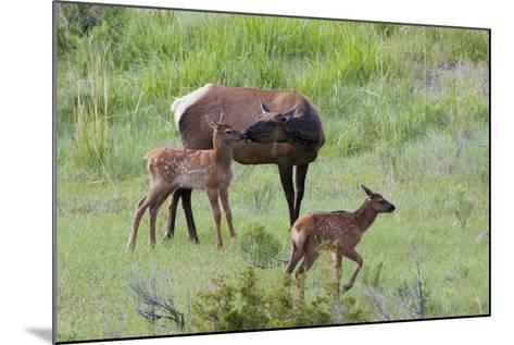 Rocky Mountain Cow Elk and Calf-Ken Archer-Mounted Photographic Print