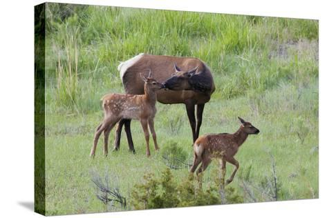 Rocky Mountain Cow Elk and Calf-Ken Archer-Stretched Canvas Print