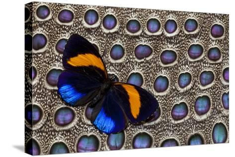 Butterfly on Grey Peacock Pheasant Feather Design-Darrell Gulin-Stretched Canvas Print