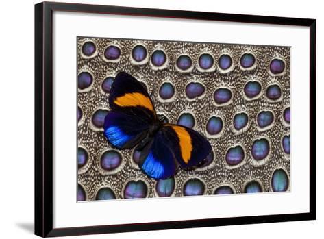 Butterfly on Grey Peacock Pheasant Feather Design-Darrell Gulin-Framed Art Print