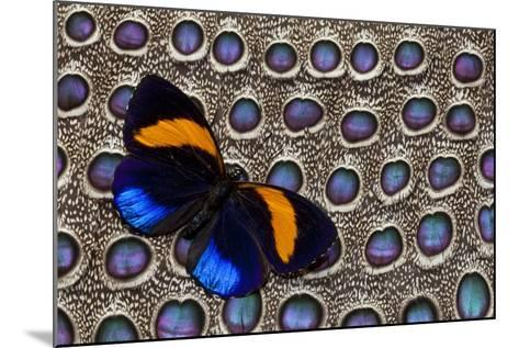 Butterfly on Grey Peacock Pheasant Feather Design-Darrell Gulin-Mounted Photographic Print