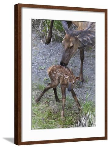 Rocky Mountain Cow Elk with Newborn Calf-Ken Archer-Framed Art Print
