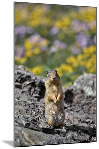 USA, Montana, Glacier NP. Columbia Ground Squirrel Close-up-Steve Terrill-Mounted Photographic Print