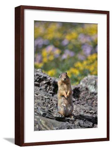 USA, Montana, Glacier NP. Columbia Ground Squirrel Close-up-Steve Terrill-Framed Art Print