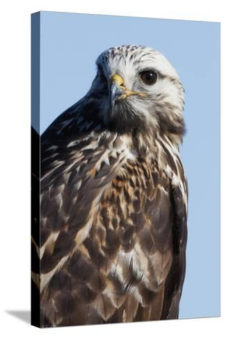Rough-Legged Hawk-Ken Archer-Stretched Canvas Print