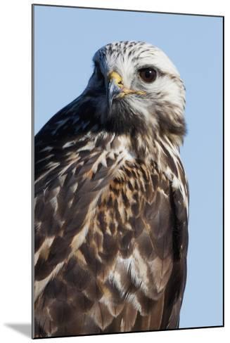 Rough-Legged Hawk-Ken Archer-Mounted Photographic Print
