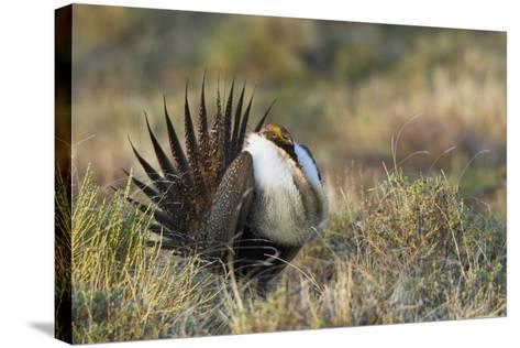 Sage Grouse, Courtship Display-Ken Archer-Stretched Canvas Print