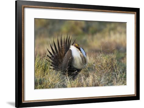 Sage Grouse, Courtship Display-Ken Archer-Framed Art Print