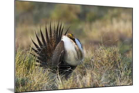 Sage Grouse, Courtship Display-Ken Archer-Mounted Photographic Print
