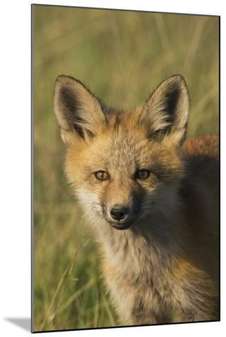 Red Fox Kit-Ken Archer-Mounted Photographic Print