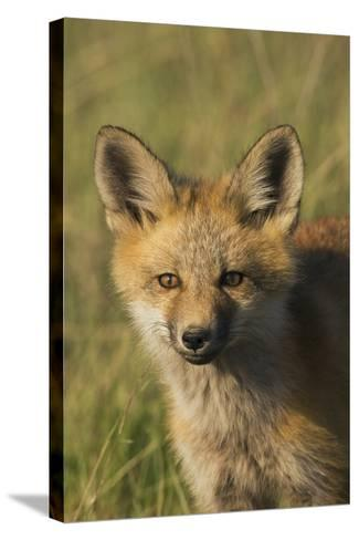 Red Fox Kit-Ken Archer-Stretched Canvas Print