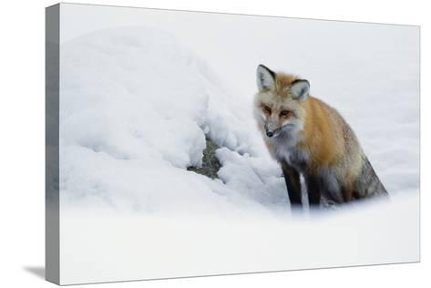 Red Fox in Winter-Ken Archer-Stretched Canvas Print