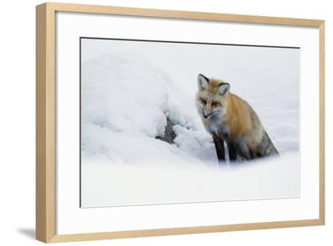 Red Fox in Winter-Ken Archer-Framed Art Print