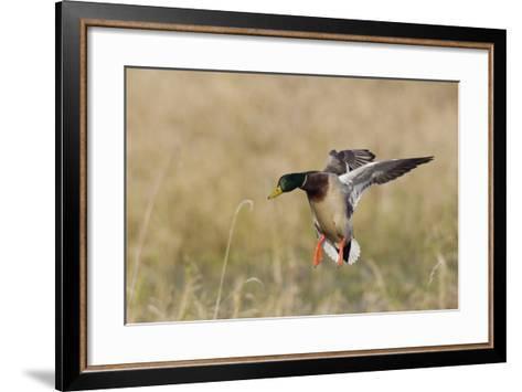 Mallard Drake Alighting-Ken Archer-Framed Art Print