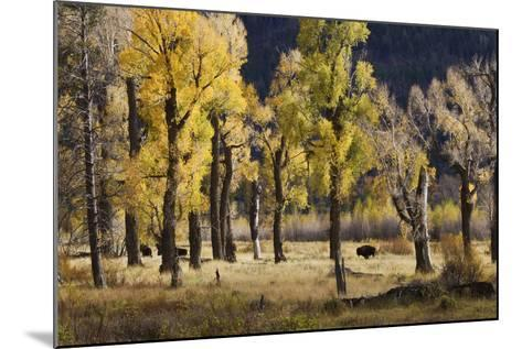 Lamar Valley Bison, Yellowstone-Ken Archer-Mounted Photographic Print