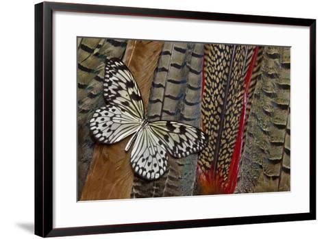 Paper Kite Butterfly on Tail Feathers of Variety of Pheasants-Darrell Gulin-Framed Art Print
