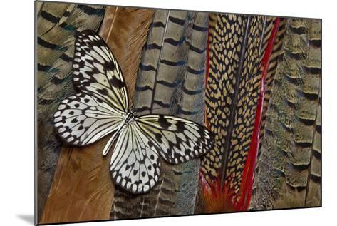 Paper Kite Butterfly on Tail Feathers of Variety of Pheasants-Darrell Gulin-Mounted Photographic Print
