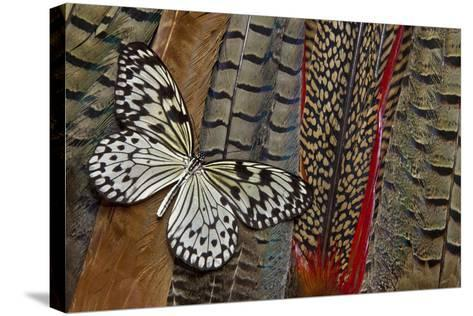 Paper Kite Butterfly on Tail Feathers of Variety of Pheasants-Darrell Gulin-Stretched Canvas Print