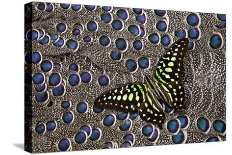 Tailed Jay Butterfly on Grey Peacock Pheasant Feather Design-Darrell Gulin-Stretched Canvas Print