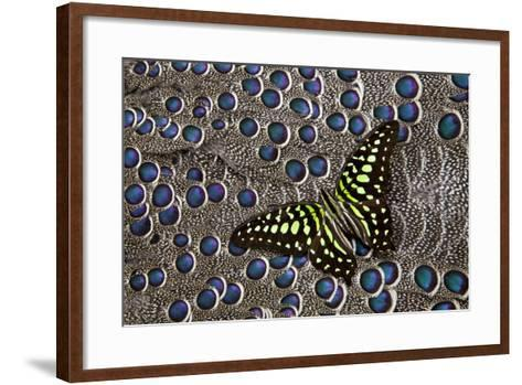 Tailed Jay Butterfly on Grey Peacock Pheasant Feather Design-Darrell Gulin-Framed Art Print