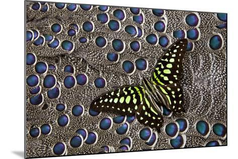 Tailed Jay Butterfly on Grey Peacock Pheasant Feather Design-Darrell Gulin-Mounted Photographic Print