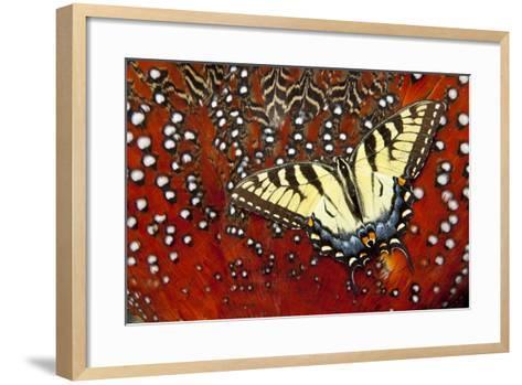 North American Eastern Tiger Swallowtail Butterfly on Tragopan Feather-Darrell Gulin-Framed Art Print