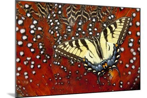 North American Eastern Tiger Swallowtail Butterfly on Tragopan Feather-Darrell Gulin-Mounted Photographic Print