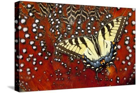 North American Eastern Tiger Swallowtail Butterfly on Tragopan Feather-Darrell Gulin-Stretched Canvas Print