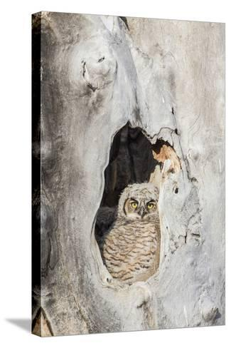 Wyoming, Lincoln Co, Great Horned Owl Nestling Peering from Nest-Elizabeth Boehm-Stretched Canvas Print